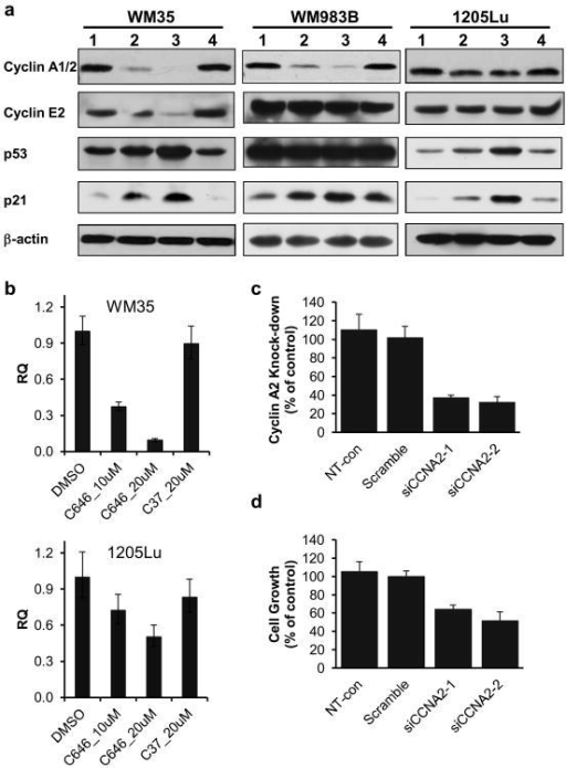 Expression of selected growth regulatory genes in C646 sensitive and insensitive cell lines. (a) Western blot analyses on WM35, 1205Lu and WM983B cells. Lanes 1-4 represent 24 h of treatment with 0.2% DMSO, 10 μM C646, 20 μM C646 and 20 μM C37, respectively. (b) qPCR analysis of CCNA2 transcripts in WM35 and 1205Lu cells after 24 h treatment. N≥3. Please note that the Western blot antibody detects both CCNA1 and CCNA2, while the qPCR only detects CCNA2. (c) Relative expression of CCNA2 after siRNA transfection, as determined by qRT-PCR. (d) Relative cell proliferation measured by the MTT assay 96 h after plating the siRNA-transfected cells.