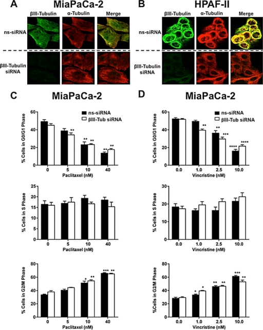 The effect of βIII-tubulin silencing on pancreatic cancer cell morphology and cell cycleA) Confocal microscopy for α-tubulin and βIII-tubulin in MiaPaCa-2 cells transfected with control siRNA (ns-siRNA) (top panels) or βIII-tubulin siRNA (βIII-Tub siRNA; bottom panels). Overlaid fluorescence images are shown in the far right panel of each row. B) as per A, except HPAF-II cells were used. C-D) Cell cycle distribution was analyzed by propidium iodide staining and flow cytometry. Bars represent % of MiaPaCa-2 cells in G0/G1-phase, S-phase, or G2/M-phase (mean±s.e.m.). 72h post-transfection with either ns-siRNA or βIII-Tub siRNA cells were incubated for eight hours with Paclitaxel (C) or Vincristine (D). Asterisks indicate significance relative to the no drug control of the same siRNA (* p≤0.05, *** p≤0.001, **** p≤0.0001; n=5).
