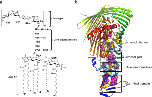 Lipopolysaccharide and its outer membrane translocon LptD/E.a lipopolysaccharide of S. typhimurium strain LT2. n = 4–40. LPS contains lipid A, core oligosaccharide and O-antigen. b LptD/E complex structure of S. typhimurium strain LT2. The N-terminal domain of Salmonella LptD is generated by modeling, based on the structure of Shigella flexneri LptD. The positions of residues are detected the cross-linking with LPS are shown in magentas, otherwise in yellow. The residues are selected at the N-terminal domain, the hydrophobic intramembrane hole, the lumenal gate and the lumen of barrel.