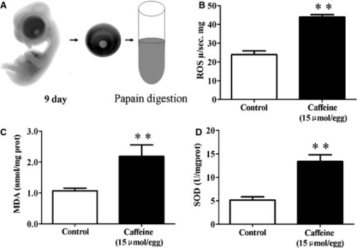 Caffeine exposure increased oxidative stress in the developing eyes. Reactive oxygen species (ROS) production and MDA & SOD activities were determined in the 9-day chick embryonic eyes following caffeine exposure. (A) Schematic chart showing the acquisition of eye tissue from 9-day-old chick embryos for analysis. (B) Bar charts showing caffeine (15 μmol/egg) significantly increased ROS production as compared with the control. (C and D) Caffeine (15 μmol/egg) also significantly increased MDA & SOD activities (**P < 0.01).