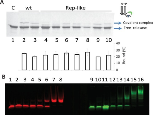 Interaction of TrwCR with Rep-like substrates.(A) SDS-PAGE of oligonucleotides with R388wt or Rep-Like structures, when incubated with TrwCR. 6 μM TrwCR was incubated with 15 μM of different oligonucleotides. The reaction products were separated by electrophoresis in 12% SDS-PAGE gels. Lane 1, no oligonucleotide; Lanes 2 and 3, R388wt oligonucleotides W(25+18) and W(14+14), respectively; in subsequent lanes, TrwCR was incubated with Rep-like oligonucleotides. The S length of Rep-like substrates (in green), varies from two to eleven nucleotides. Lane 4, H(14+8), Lane 5, H(14+10), Lane 6, H(14+12); Lane 7, H(14+13), Lane 8, H(14+14); Lane 9, H(14+15); Lane 10, H(14+17). In the center chart, percentage of bound complexes were calculated in three separate experiments such as that shown in (A). (B) Increasing amounts of TrwCR were incubated with wt oligonucleotide W(25+8) (red shift, lanes 1 to 8) or Rep-like hairpin H(14+14) (green shift, lanes 9–16). Lanes 1 and 9, no protein added; 2 and 10, 42 nM of TrwCR; 3 and 11, 85 nM; 4 and 12, 210 nM; 5 and 13, 420 nM; 6 and 14,850 nM; 7 and 15, 4,2 μM, 8 and 16, 8,5 μM.