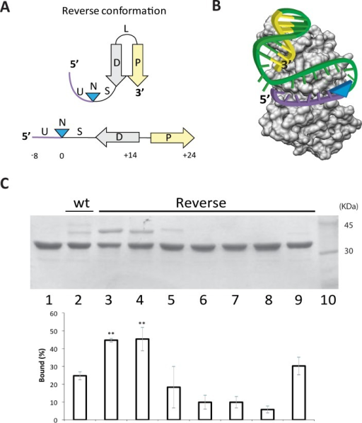 Interaction of TrwCR with Reverse substrates.(A) Reverse substrates were designed by swapping the 5' region of the nic site to the 3' end. This designed DNA substrate possesses the complete inverted repeat (D-P) at the 3' end of the nic site (N). Either the U or the S lengths were tuned to allow the correct location of the hairpin within the relaxase binding domain. (B) Scheme depicting the cleavage reaction of the reverse substrate. Relaxase binding to the reverse substrate allows both the hairpin and the single strand U-turn localize at the DNA binding cleft. This way the cleavage reaction forms a covalent complex of the relaxase with the region downstream of the nic site (blue arrowhead). Now the 5´side of nic do not contain the IR avoiding the re-ligation reaction. Color code is the same than Fig 1. (C) 12% SDS-PAGE of reverse oligonucleotides, when incubated with TrwCR. 6 μM TrwCR was incubated with 15 μM of different reverse oligonucleotides. Lane 1, no oligonucleotide; Lanes 2, R388wt oligonucleotide W(25+18). Lanes 3 and 4, Reverse substrates R(8+27) and R(8+24), both with U = 8 nt and S = 11nt or S = 8 nt respectively. Lane 5, R(7+27) U = 7; Lane 6, R(4+27) U = 4; Lane 7, R(1+27) U = 1 and Lane 8, R(0+27) U = 0. Lane 9, R(8+14), U = 8 P = 0. Lane 10, Molecular weight marker. Graph quantifying the percentages of covalent complexes is shown below the SDS-PAGE gel. Data show mean±s.d. of three independent experiments. Two asterisks indicate P-value<0.05 by two-sided student's t-text.