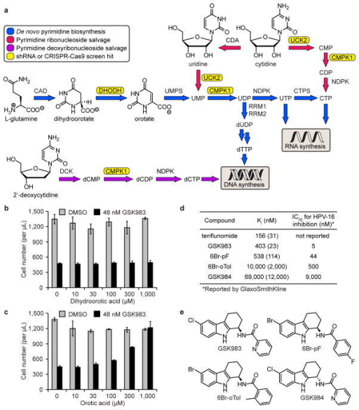 GSK983 inhibits DHODH to block virus replication and cell proliferation. (a) Schematic representation of mammalian pyrimidine metabolism. Genes that appeared as strong sensitizing hits in the shRNA screen (CMPK1, DHODH, UCK2) and CRISPR-Cas9 screen (UCK2) are highlighted in yellow. (b) Dihydroorotic acid had no effect on GSK983-induced growth inhibition in K562 cells. (c) Orotic acid reversed GSK983-induced growth inhibition in K562 cells. For (b) and (c), viable cells were counted by flow cytometry (FSC/SSC) following 72 h treatment with 48 nM GSK983 or vehicle and the indicated concentration of (dihydro)orotic acid. Error bars represent ± standard deviation of 4 biological replicates. (d) GSK983 and analogues inhibited recombinant human DHODH in vitro. Ki values are averages of two independent Ki determinations at different inhibitor concentrations. The range between independently calculated Ki values for each inhibitor is shown in parentheses. IC50 values for inhibition of episomal HPV-16 replication in cell-based antiviral assays are those reported by GlaxoSmithKline3. (e) Structures of GSK983, 6Br-pF, 6Br-oTol, and GSK984.
