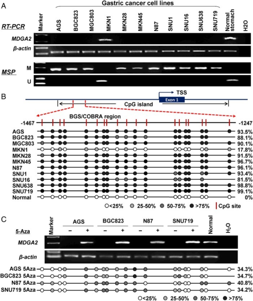 MDGA2 is inactivated by promoter methylation in gastric cancer cell lines. (A) MDGA2 was silenced or downregulated in 10 out of 11 gastric cancer cell lines but readily expression in normal gastric tissue. The methylation status of MDGA2 was determined by methylation-specific PCR (MSP). M, methylated; U, unmethylated. (B) A typical CpG island is present at the promoter region of MDGA2. Each vertical bar represents a single CpG site. The transcription start site (TSS) is indicated by a curved arrow. A region for bisulfite genomic sequencing (BGS) and combined bisulfite restriction analysis (COBRA) is denoted. BGS analysis confirmed high levels of promoter methylation in MDGA2-silenced cells and no/low methylation in MDGA2-expressing samples. (C) MDGA2 mRNA expression was restored after treatment with the demethylation reagent 5-Aza. Decreased methylation was revealed by BGS after 5-Aza treatment.
