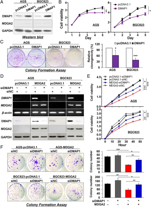 Suppression of gastric cancer growth by MDGA2 is partly dependent on DNA methyltransferase 1 associated protein 1 (DMAP1). (A) Expression of MDGA2 was not affected by DMAP1. (B) Cell viability of AGS and BGC823 cells by the 3-(4,5-dimethylthiazol-2-yl)-5-(3-carboxymethoxyphenyl)-2-(4-sulfophenyl)-2H-tetrazolium (MTS) assay. (C) Colony formation in AGS and BGC823 cells. (D) DMAP1 was knocked down in cells with stable MDGA2 over-expression by short interference RNA (siRNA) transfection. (E) Effect on gastric cancer cell growth by different levels of MDGA2 and DMAP1. Cell growth was monitored by the xCelligence system. Data shown are mean±SD. (F) Effect of different levels of MDGA2 and DMAP1 on colony formation ability of gastric cancer cells. *p<0.05, **p<0.001, ***p<0.0001.