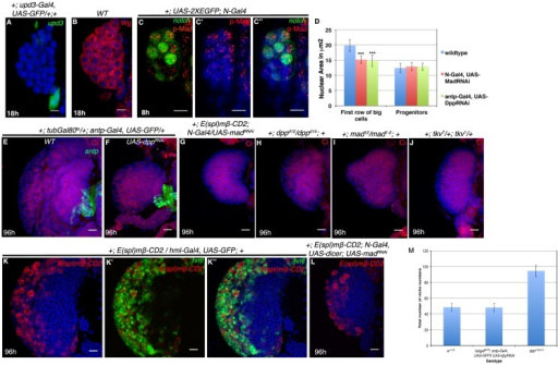 "Involvement of Dpp signaling in HSC maintenance.(A–B) show Upd3 expression ([A], green, n = 12) in a subset of PSC cells not earlier than 18 hr AEH, while (B) shows Wingless (Wg, red, n = 16) expression throughout first instar lymph gland. (C–C"") shows another representative example of pMad enrichment in HSCs (N-GFP) (red, n = 6) (D) Quantitative analysis of effect of Dpp or Mad loss on HSCs, as seen by change in nuclear size. Nuclear size of first row of big cells near the DV decreases from 19.8 mm2 to 15.19 mm2 (n = 40 cells, p=5.46748E-19, two tailed unpaired Student's t-test) in Mad loss and 14.78 mm2 (n = 40 cells, p=9.66379E-19, two tailed unpaired Student's t-test) in Dpp loss from the HSC and PSC respectively. (E–G) Expressing dpp RNAi([F], n = 12) in the niche or MadRNAi([G], n = 15) in the HSC, during the critical window of late 16 of embryogenesis to 18 hr AEH, causes a drastic reduction in the size of the lymph gland but does not affect medullary-cortical zonation as seen by Cubitus Interruptus (Ci, Red) labeling, in comparison to the control in [E]. (H–I) show presence of medullary zone (Ci, Red, compare with [E])in hetero-allelic mutant combination of dpp (dppd12/dppd14 (n = 10; [H]) as well as Mad deficiency (mad12/mad1-2; n = 9; I]), although the size of the lymph gland is drastically reduced. (J) Analogous results are obtained in tkv7/tkv1(Ci, Red, compare with [E]; n = 12). (K) shows wild type E(spl)mβ-CD2 expression as visualized by CD2 (red) staining in a third instar lg. (K'–K"") shows that E(spl)mβ-CD2 expression overlaps with differentiating blood cell marker- Hemolectin (Hml; green).(L) shows that down-regulation of Mad from HSC during late embryo to 18 hr AEH has no effect on the E(spl)mβ-CD2 expression in the differentiated hemocytes of a late third instar lg (n = 6, compare with [K]). (M) Quantitative analysis of niche number in dpp loss (a short window of stage 16 of embryogenesis to 18 hr AEH) from the niche in 1st instar is comparable to control (p=0.856283596, n = 10, two tailed unpaired Student's t-test) In contrast, classical loss of function genotype of dpp (dppd12/d14) revealed a significant increment in niche cell count when compared to wild-type (p=7.49838E-07, n = 10, two tailed unpaired Student's t-test). Scale bar 5 μm (A–C"") and 20 μm (E–L). Error Bars= S.D. Genotypes are shown on top of corresponding panels. DAPI marks the nucleus.DOI:http://dx.doi.org/10.7554/eLife.18295.023"