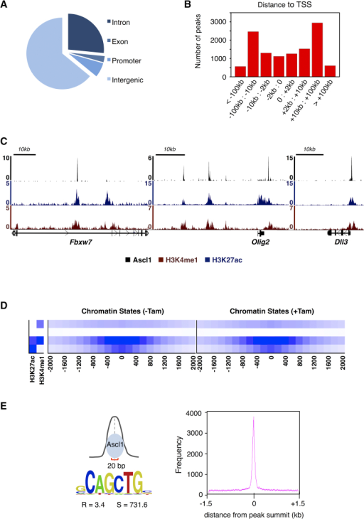 Genome-wide Mapping of Ascl1 Binding Sites in Differentiating NS Cells(A) Location of Ascl1 BEs respective to various genomic features.(B) Location of Ascl1 BEs in relation to the closest annotated TSS.(C) Chromatin state in differentiating NS cells, at Ascl1 bound regions in the vicinity of Fbxw7, Olig2, and Dll3 genes.(D) Heat maps of chromatin states for H3K27ac and H3K4me1 within ±2 kb of Ascl1-ERT2 peak summits in proliferating or differentiating NS cells (before and 24 hr after the addition of tamoxifen, respectively).(E) DNA motif enrichment for Ascl1 E-box within a 20-bp region centered at Ascl1 peak summits (R, enrichment over local genomic background; S, motif score).See also Figure S2.