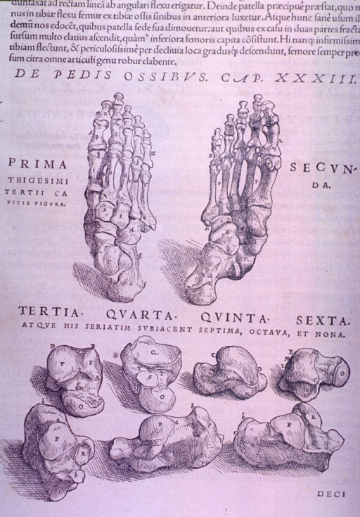 <p>Superior and inferior views of the bones of the foot and seven tarsal bones.</p>