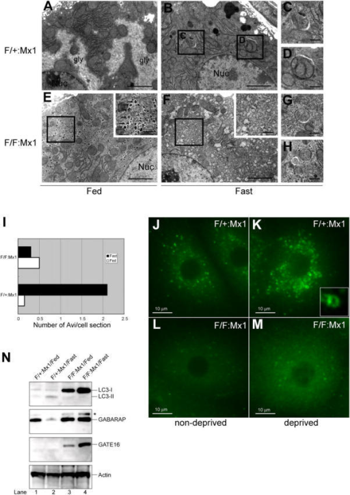 Impaired autophagosome formation in Atg7-deficient liver. (A–H) Electron micrographs of liver from Atg7F/+:Mx1 (A–D) and Atg7F/F:Mx1 (E–H) mice fed ad libitum (A and E) or fasted for 1 d (B and F). (C and D) Early stages of autophagic vacuoles observed in B are highlighted. (E and F) Autophagosome was not induced in mutant hepatocytes upon fasting. Insets show higher magnification views of glycogen granules. (G and H) Occasionally observed autophagosome-like structures in mutant hepatocytes. Bars: (A, B, E, and F) 5 μm; (C, D, G, and H) 0.5 μm. (I) Number of autophagosomes per hepatocyte (n = 20) in each genotype was counted and their averages are shown. (J–M) Immunofluorescent analysis of LC3 in primary cultured hepatocytes. Hepatocytes isolated from Atg7F/+:Mx1 (J and K) and Atg7F/F:Mx1 mice (L and M) were cultured in Williams' E (J and L) or Hanks' solution (K and M). Inset highlights the cup-like structure of LC3 observed in K. (N) Immunoblot analysis of Atg8 homologues in the liver. Atg7F/+:Mx1 (lanes 1 and 2) and Atg7F/F:Mx1 mice (lanes 3 and 4) were fed ad libitum (lanes 1 and 3) or fasted for 1 d (lanes 2 and 4), and then PNS fractions of liver were analyzed by immunoblotting with anti-LC3, GABARAP, GATE-16, and actin antibodies. Asterisk denotes a nonspecific band. Data shown are representative of three separate experiments.