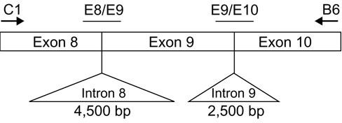 Representation of the SHMT-ps1 region amplified by the C1/B6 primers. The positions of the two molecular beacon sequences E8/E9 and E9/E10 are shown in relation to the exon-exon boundaries in SHMT-ps1.