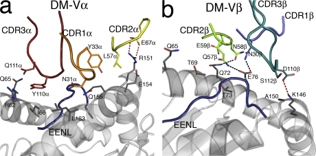 DM1 interactions with HLA-B*4405EENL. (a) Interactions with the HLA-B*4405 heavy chain mediated by the Vα domain of the DM1 TCR (CDR1α, orange; CDR2α, yellow; CDR3α, red; HLA-B*4405 heavy chain, gray; EENL epitope, blue). (b) Interactions with the HLA-B*4405 heavy chain mediated by the Vβ domain of the DM1 TCR (CDR1β, slate; CDR2β, green; CDR3β, teal; HLA-B*4405 heavy chain, gray; EENL epitope, blue).