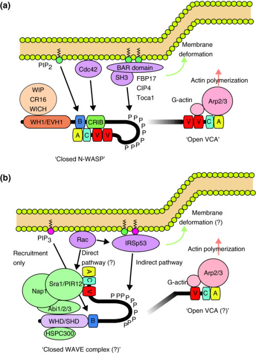 multiple regulatory pathways for nwasp and wave2 activ