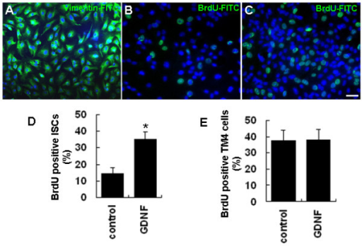 GDNF enhances the proliferation of cultured ISCs. (A) The identity and purity of cultured ISCs was confirmed by immunostaining with an antibody against Sertoli cell-specific vimentin protein. (B-C) BrdU-positive ISCs in control (B) and GDNF treated (C) groups. (D) Quantitative analysis of ISC proliferation as indicated by the percentage of BrdU-positive cells in control and GDNF treated groups. (E) Quantitative analysis of TM4 cell proliferation as indicated by the percentages of BrdU-positive cells in GDNF treated and control groups. Statistically significant differences (p < 0.05) among groups are indicated by an asterisk. At least three separate experiments were carried out using the ISC and TM4 cells, with 150-200 cells counted in each experiment. Scale bars indicate 10 μm.