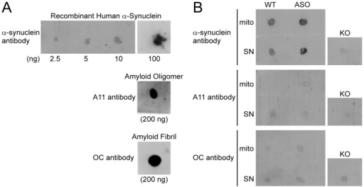 Amyloid-like soluble oligomers or fibrils of elevated human α-synuclein were not detected in ASOTg brain mitochondria and synaptoneurosome fractions.A. On dots blots, the α-synuclein antibody detected recombinant human α-synuclein in increasing amounts (2.5–100 ng), serving as a monomer positive control (top panel). Aβ42 soluble oligomers and Aβ42 fibrils (200 ng each) served as positive controls for the A11 antibody (middle panel) and the OC antibody (bottom panel) respectively. B. The α-synuclein antibody detected elevated human α-synuclein in ASOTg mitochondrial (mito) and synaptoneurosome (SN) fractions (1 µg) relative to WT fractions (top panel). An SN fraction from Snca−/−mice (KO) served as a negative control. The A11 and OC antibodies failed to detect endogenous mouse (WT) or elevated human α-synuclein (ASOTg) in all fractions when compared to KO negative control (middle/bottom panels).