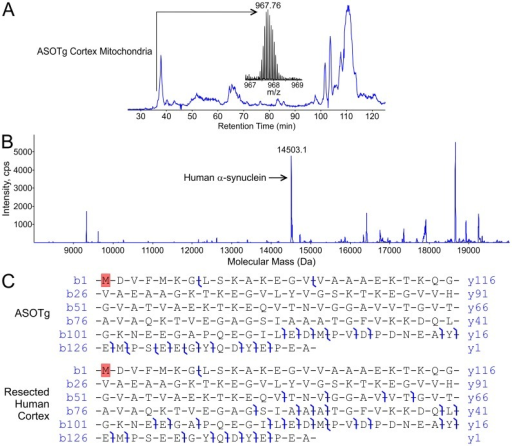 N-terminally acetylated full-length human α-synuclein was the major isoform detected in a ASOTg cortex mitochondrial fraction and in human brain by top-down high-resolution mass spectrometry.A. Total ion chromatogram is shown for the primary separation and the ion-isolation mass spectrum (m/z 967.76) of a candidate full-length α-synuclein of mass 14503.1 Da found in the 37-minute fraction for a ASOTg cortex mitochondrial fraction (500 µg). B. Static nano-electrospray and MSMS displays peaks of various intensities for the average mass spectrum in the same 37-minute fraction (arrow, unmodified human α-synuclein sequenced in panel C). No masses corresponded to known PTMs for human α-synuclein, e,g, nitration, phosphorylation or ubiquitination. C. Hybrid linear ion-trap FT-MS (LTQ-FT) generates high resolution map of product ions formed upon collisionally activated dissociation (CAD) of the m/z 967 precursor, matched at 10 ppm tolerance for confident assignment of the primary amino acid sequence of full-length human α-synuclein from ASOTg mouse (upper panel). Monoisotopic mass of human α-synuclein from ASOTg mouse was 14493.2591 Da (mean of 4 measurements on 4 different ions). A protein of similar mass was recovered from resected human brain and CAD of the m/z 1209 precursor gave a broadly similar product-ion map (lower panel). Monoisotopic mass of human α-synuclein from human brain was 14493.2592 Da (mean of 2 measurements on 2 different ions). The probability that either species analyzed was incorrectly assigned was calculated to be 9.9×10−31 (ASOTg) and 4.4×10−43 (human brain) using the ProsightPC algorithm at a tolerance of 10 ppm. Note that the top-down approach yields several product ions in the C-terminal region that was poorly covered in the bottom-up experiment (Fig. 6). The species analyzed is shown with N-terminal acetylation of starting methionine (in red) yielding agreement of measured and calculated masses within 10 ppm.