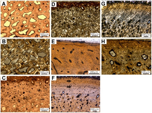 "Long bone histology of Ankylosauridae indet.A, Inner cortex of the humerus (ROM 47655) showing secondary osteons of different shapes and stages of infilling. B, Same view in cross-polarized light. C, Heavily remodeled outer cortex of the radius (TMP 1997.12.220). D, Same view in cross-polarized light. E, Anterior outer cortex of the ulna (TMP 1982.16.264) displaying obliquely oriented unmineralized Sharpey's fibers in primary bone tissue with primary osteons. F, Middle and outer posterior cortex of the ulna (TMP 1982.16.264) showing transition from dense Haversian tissue to predominantly primary bone with black arrows marking ""bright lines"" in outer cortex; Vascular canals opening to the surface indicate an actively growing individual. G, Same view in cross-polarized light. H, Anterior cortex of the ulna (TMP 1982.16.264) with active resorption cavities in outer cortex showing a generally stronger remodeling than the histology of the posterior cortex."