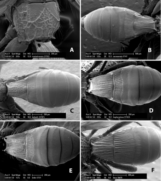 Examples of surface sculpturing in Heterospilus spp.