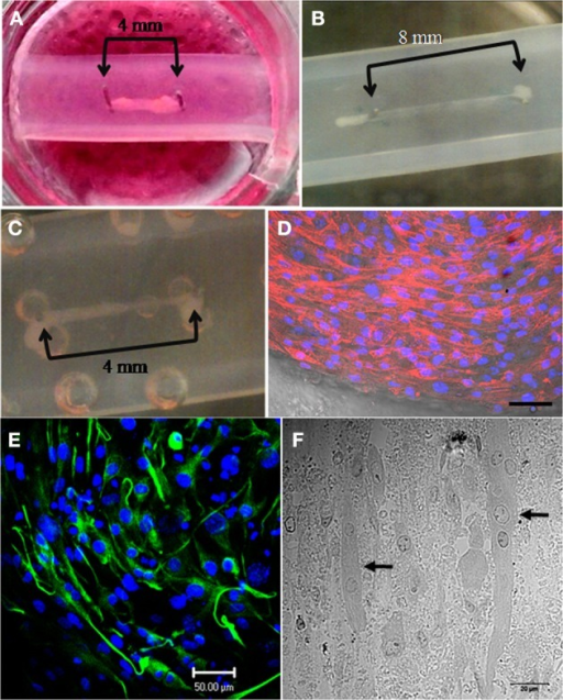 Successful generation of mouse and human skeletal muscle constructs using the simple silicone chamber system. (A) When seeded in a matrix of collagen 1 and Matrigel (14%), mouse C2C12 cells formed tissue (day 7 in differentiation media) between pins placed 4 mm apart. (B) When seeded in a matrix of collagen 1 and Matrigel (14%), mouse C2C12 cells formed tissue (day 3 in differentiation media) between pins placed 8 mm apart. (C) When seeded in a matrix of collagen 1 and Matrigel (14%), human skeletal muscle (HSKM) cells formed tissue (day 3 in differentiation media) between pins placed 4 mm apart. (D) After 12 days in differentiation media, actin fibers stained with TRITC-phalloidin and were clearly visible in the differentiated mouse C2C12 myotubes. Nuclei were stained with Hoechst (scale bar = 50 μm). (E) After 15 days in differentiation media, elongated myotubes were aligned and contained desmin, an intermediate filament required for myotube contractile function (scale bar = 50 μm). (F) Thin sections of resin-embedded C2C12 myoblasts culture for 15 days in differentiation media showed the formation of multi-nucleated (arrows) myotubes (scale bar = 20 μm).