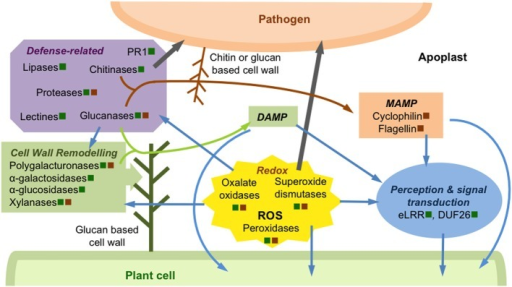 Schematic overview of some events occurring in apoplast during plant pathogen interactions. This illustration, based on studies described in this paper, presents some examples of apoplastic proteins regulated during biotic stresses. These proteins are secreted by the plant cell (green square) and/or pathogen (brown square). Some proteins, modulated in the apoplast after DAMP or MAMP perception, are involved in pathogen perception and signal transduction, leading to the activation of intracellular plant defense signaling pathways (blue arrows). The regulation of a large amount of proteins involved in redox homeostasis modulates the ROS signaling pathway leading to activation of extra- and intracellular plant defense responses (blue arrows). These proteins, such as peroxidases or oxalate oxidases participate also to the plant cell defense through plant cell wall reinforcement or direct pathogen attack (gray arrow). Plant cell wall is actively remodeled and/or reinforced through the regulation of numerous enzymes, such as polyglacturonases or glucanases, which are secreted by the pathogen or its host. Some of the cell wall degradation products can act as DAMP (green arrow) to stimulate plant defense signaling pathways. Most of the defense-related proteins, such as chitinases or glucanases, act directly against the pathogen (gray arrow), releasing degradation products that can be perceived as MAMP by the plant cell (brown arrow).