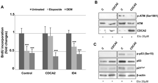 Adoptive expression of CDCA2 promotes cell cycle progression in Etoposide-Induced Senescence.A) CDCA2 and ID4 coding sequences were transfected in PDL 33 IMR90 cells. Cells transfected with CMV-NEO plasmid were used as control. After 24 h, transfected cells were treated with 20 µM etoposide or 150 µM DEM for 24 h and then incubated with BrdU for 4 h. Coverslips were then fixed, incubated with primary anti-BrdU and secondary fluorescein-conjugated antibodies, counterstained with Hoechst-33258 and counted by immunofluorescence. Counts of at least 800 cells were averaged and expressed as fold changes±SD, with respect to control transfected cells (***p<0.01). B) and C) PDL 33 IMR90 cells were transfected with the coding sequence of CDCA2. After 24 h, transfected cells were treated with 20 µM etoposide for 24 h and then were collected to obtain protein extracts. Cell extracts from CMV-neo over-expressing cells served as control. Western Blot analysis was used to detect the levels of phosphorylated ATM (p-ATM Ser1981), ATM, phosphorylated p53 (p-p53 Ser15), p53, p21Cip1 and CDCA2 in the cell lysates. β-actin was used as a loading control.