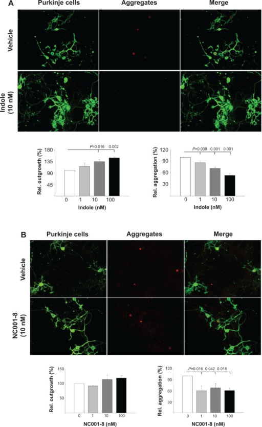Indole and NC001-8 promoted neurite outgrowth and reduced aggregation of Purkinje cells in spinocerebellar ataxia type 17 mouse cerebellar primary and slice cultures.Notes: The primary culture was treated with 0~100 nM indole (A) or NC001-8 (B) for 13 days. The representative microscopic images of treatment with 100 nM indole or NC001-8 are shown, and the relative Purkinje cell neurite outgrowth (green) and aggregation (shown in white in the middle column and in red in the right merged column) were quantified (n=3). (C) The slice culture was treated with 10 nM indole or 10 μM NC001-8 for 6 days. The representative microscopic images of treatment are shown, and the relative Purkinje cell aggregation (red) was quantified (n=3). To normalize, the relative neurite outgrowth length and aggregation level in vehicle-treated cells or slices is set as 100%. IP3R-1 and 1TBP18 antibodies were used to detect the Purkinje cells and TBP aggregation, respectively.Abbreviations: IP3R-1, inositol 1,4,5 trisphosphate receptor type 1; 1TBP18, mouse monoclonal antibody to TATA binding protein (TBP); Rel., relative; DAPI, 4′,6-diamidino-2-phenylindole.