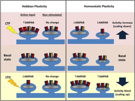 homesotatic plasticity Combinations of stroke neurorehabilitation to facilitate motor recovery: perspectives on hebbian plasticity and homeostatic metaplasticity.
