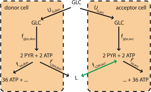 Schematic representation of the minimal model of two cells coupled via a lactate shuttle.Two cells (lactate donor and acceptor, respectively) share glucose as an energy source. Glucose is partitioned according to the fluxes fglyc,don and fglyc,acc, which convert one internal glucose molecules to two pyruvate molecules producing two ATP molecules. Pyruvate can then undergo oxidative phosphorylation (with the irreversible fluxes fox,don and fox,acc, giving 36 more ATP molecules) or LDH (with fluxes fLDH,don and fLDH,acc, by which lactate (L) is obtained). Lactate is for simplicity assumed to be secreted upon production. If both cells produce lactate, no coupling sets in, unless due to competition for nutrients under glucose limitation. If however the donor cell secretes lactate, the acceptor cell may intake it to replace glucose whenever its access to the latter is limited (e.g. because the donor cell's glucose intake is large). In such cases a lactate shuttle will effectively couple the metabolisms of the two cells.