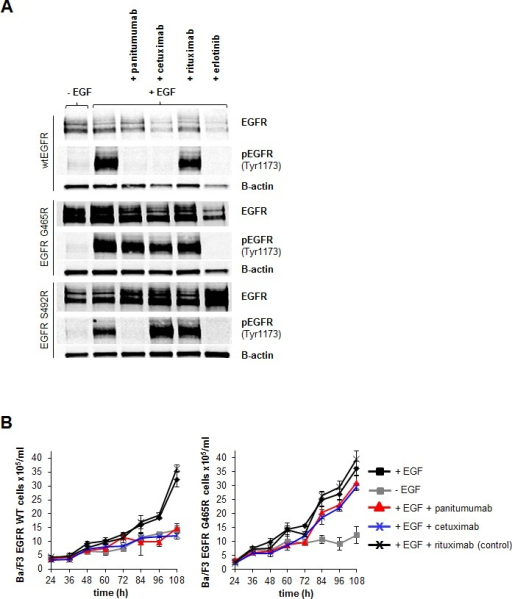 EGFR G465R mutation induces cross-resistance to panitumumab and cetuximab in an EGF-dependent Ba/F3 cellular modelA: EGFR signaling in EGF-dependent Ba/F3 model. Wt and S492R or G465R mutant EGFR-expressing Ba/F3 cells were cultured in the presence or absence of EGF and with addition of cetuximab, panitumumab, rituximab or erlotinib. After 2 hours, cells were harvested and EGFR/pEGFR expression analyzed by western blot analysis. B: Sensitivity of EGFR wt or EGFR G465R mutant-transfected Ba/F3 cells to treatment with EGFR-targeted antibodies. Ba/F3 cells were transformed to IL-3 independence with EGFR wt or mutant constructs and subsequently cultured in the presence or absence of EGF or with EGF in combination with panitumumab, cetuximab or control antibody rituximab. The number of viable cells was determined by trypan blue exclusion every 12 hours beginning 24 hours after seeding and plotted. Data are means from triplicate experiments +/−SEM.