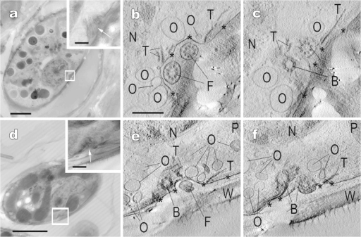 "Electron tomography of the cell periphery near basal bodies of ""Glaucocystis geitleri"" SAG 229-1 (a–c) and G. nostochinearum SAG 16.98 (d–f). Corresponding to Supplementary Movies 5 and 6. (a,d) Ultra-high voltage electron microscopic images of vegetative cells. Insets show higher magnification images in boxed area. Scale bar, 5 μm and 500 nm (insets). (b,c,e,f) Tomographic images of boxed area in (a,d), showing portions of cell periphery near basal bodies and vestigial flagella. Shown at the same magnification. Note that the cell periphery in these areas is composed of plasma membrane (asterisks) and ovoid-to-spherical vesicles surrounding basal bodies. Scale bar, 500 nm. B, basal body; F, vestigial flagellum; N, nucleus; O, ovoid-to-spherical vesicle; P, plastid; T, microtubule; W, cell wall."