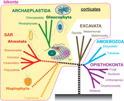 Diagram of a possible evolutionary scenario from an ancestral flagellate with leaflet-like flattened vesicles to extant primary photosynthetic eukaryotes (Archaeplastida).Based on the present study, Adl et al.2 and Cavalier-Smith19. Extant organisms that possibly retain flattened vesicles are Glaucophyta, Alveolata and Haptophyta. The putative ancestral flagellate of glaucophytes or the first primary photosynthetic eukaryote enslaved a cyanobacterium (Cy) as plastids might have contained nucleus (N), mitochondria (M) and leaflet-like flattened vesicles (FV).