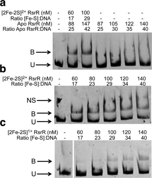 Cluster- and oxidation state-dependent DNA binding by [2Fe-2S] RsrR.EMSAs showing DNA probes unbound (U), bound (B), and non-specifically bound (NS) by (a) [2Fe-2S]2+ and apo-RsrR (b) [2Fe-2S]2+ RsrR and (c) [2Fe-2S]1+ RsrR. Ratios of [2Fe-2S] containing RsrR (Holo) and [RsrR] (apo) to DNA are indicated for (a) while the concentration of [2Fe-2S] RsrR only is reported in (b,c). DNA concentration was 3.5 nM for the [2Fe-2S]2+/1+ and apo-RsrR experiments. For (a,b) the reaction mixtures were separated at 30 mA for 50 min and the polyacrylamide gels were pre-run at 30 mA for 2 min prior to use. For (c) the reaction mixtures were separated at 30 mA for 1 h 45 min and the polyacrylamide gel was pre-run at 30 mA for 50 min prior to use using the de-gassed running buffer containing 5 mM sodium dithionite. For (a) both holo and apo protein concentrations are represented as the sample contained both forms due to incomplete cluster loading. The concentrations reported are of the [2Fe-2S] concentration.