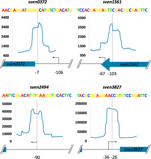 Graphical representation of combined ChIP-Seq, ChIP-exo and dRNA-seq for four class 1 targets.Each target has the relative position of ChIP-exo (blue line) peak centre (dotted line) and putative transcriptional start site (TSS - solid arrow) indicated with the distance in bp (black numbers) relative to the down stream start codon of target genes. The y-axis scale corresponds to number of reads for ChIP data with each window corresponding to 200 bp with each ChIP-peak being ~50 bp wide. Above each is the relative binding site sequence coloured following the weblogo scheme (A – red, T – green, C – blue and G – yellow) from the MEME results.