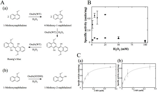 "The reaction pathways and analyses of peroxygenase activities of OxdAs using 1-MN as a substrate.(A) Reaction pathway for conversion of 1-MN to Russig's blue (a), and 1-methoxy 2-naphthalenol (b). (B) The peroxygenase activities of OxdAs depending on the H2O2 concentration. OxdA(WT) (black circles) and OxdA(H320D) (black triangles). (C) Michaelis—Menten kinetics of the peroxygenase activity of OxdAs. OxdA(WT) (a) and OxdA(H320D) (b). The reactions were carried out under the ""standard assay D"" conditions as described under ""Materials and Methods."" For all data points, values are means ± mean error."