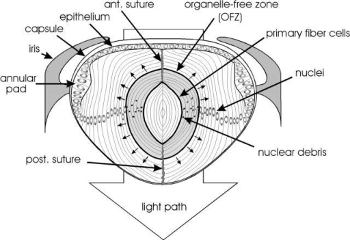 Diagram of a midsagittal slice of a chicken lens  at E15. The lens is bounded  by an acellular collagenous  capsule. An epithelial monolayer covers the anterior surface of the lens and thickens  at the periphery to form the  annular pad. The bulk of the  lens consists of concentric  layers of highly elongated  lens fiber cells derived from  the edges of the epithelium.  Primary fiber cells, formed  early in development, are situated in the center of the  lens. The rest of the fiber  mass is composed of secondary  fiber cells, formed throughout life by the differentiation  of epithelial cells at the lens  equator. The tips of secondary fiber cells make contact  with fibers from the opposite  hemisphere of the lens at the  sutures. The outer fiber cells  contain a normal complement of organelles, including nuclei. However, organelles are absent from cells in the center of the lens, giving rise to the OFZ. The  OFZ increases steadily in size throughout embryonic development (small arrows).