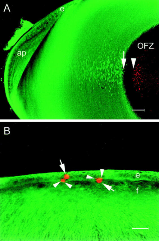 Confocal images of lens slices  showing the distribution of ER (green)  and degraded DNA (red). (A) The ER  (visualized by immunofluorescence with  a protein disulfide isomerase antibody)  is abundant in the superficial layers of  the lens but completely absent from the  well-defined central OFZ. The fiber cell  nuclear membranes are also labeled by  this antibody. Degraded DNA is localized in condensed nuclear remnants,  scattered throughout the cytoplasm of fiber cells in the OFZ. Note the gap of  ∼90 μm between the last fiber cell to  contain ER (arrow) and the first to contain degraded DNA (arrowhead). e, epithelium; ap, annular pad. (B) Apoptotic  cells are occasionally detected in the anterior epithelium of the E9 lens. At this  stage of development, the epithelial cells  (e) and all of the fiber cells ( f ) contain  abundant ER. Apoptotic nuclei (arrows)  are strongly labeled by the TdT assay,  and small apoptotic bodies are often observed in the adjacent tissue (arrowheads). Note that, in contrast to the central fiber cells shown in A, the apoptotic  nuclei of the epithelial cells are found in  cells in which the ER is still present.  Bars: (A) 100 μm; (B) 25 μm.