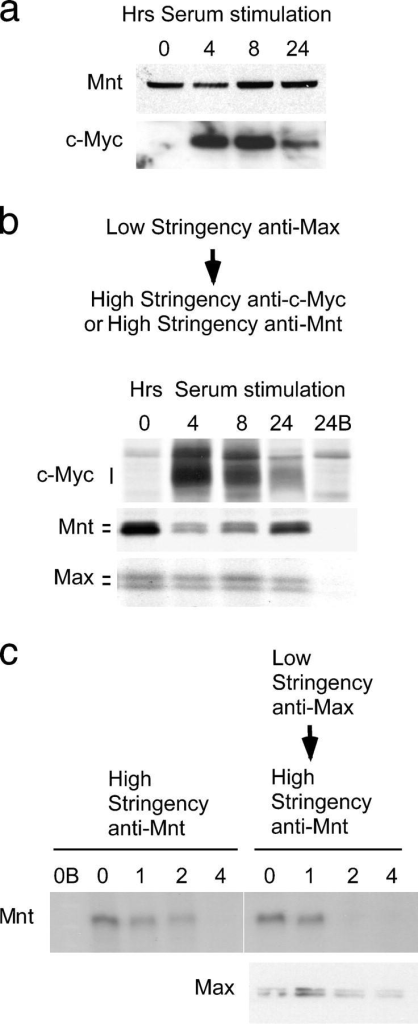 "Complex switching between Mnt–Max and c-Myc–Max during cell cycle entry. (a) Western blot showing Mnt and c-Myc levels at 0, 4, 8, and 24 h after serum stimulation of quiescent MEFs. (b) Levels of Mnt and c-Myc found in low stringency anti-Max immunoprecipitations during cell cycle entry. Note reduction in Mnt (and Mnt–Max complexes) at times of high c-Myc levels. (c) Pulse-chase analysis of Mnt turnover when complexed to Max. Cells were metabolically labeled with medium containing [35S]methionine (pulse) then ""chased"" with medium containing unlabeled methionine. Mnt was immunoprecipitated under high stringency conditions (representing total Mnt) or from low stringency Max immunoprecipitated material at 0, 1, 2, and 4 h, as indicated, during the chase period. B, immunogen blocked antibody."