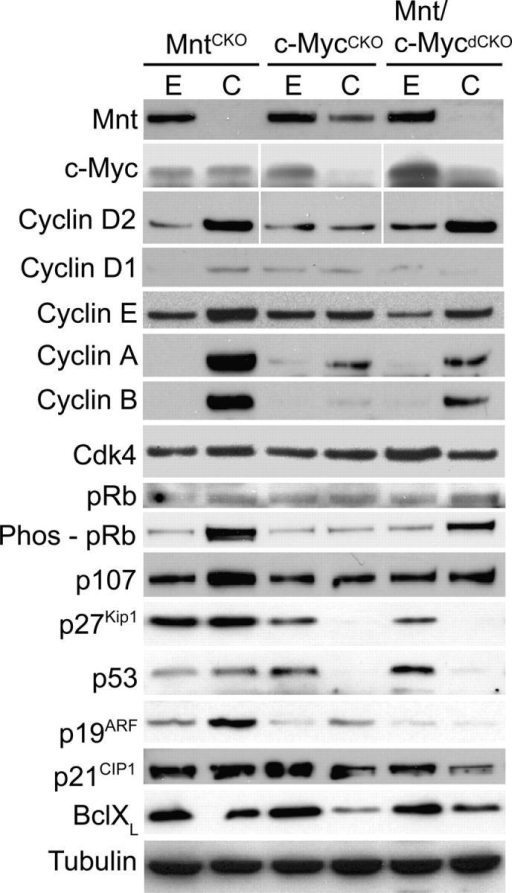 Effect of acute Mnt, c-Myc, and Mnt plus c-Myc deletion on the expression levels of proteins involved in the regulation of cell proliferation. Cell extracts were obtained from primary MEFs after AdCre-mediated deletion of Mnt, c-Myc, or both Mnt and c-Myc as shown in Fig. 5 (a and b). Western blots were performed with antibodies against the indicated proteins.
