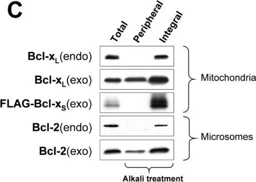 Bcl-xL and Bcl-xS specifically localize to the MOM, whereas Bcl-2 resides on several membranes. (A) Anti–Bcl-2 and anti–Bcl-x Western blots of subcellular fractions from parental HEK 293 cells (endo) or HEK293 cells transiently overexpressing Bcl-2, Bcl-xL, or FLAG–Bcl-xS (exo). The mitochondrial fraction was obtained from the 1.4 M band and the heavy microsomal fraction from the 1.0 M band of the sucrose gradient (see Materials and methods). Light microsomes are the pellet of the 100,000 g spin. Purity of the fractions was checked with anti-grp78/Bip and anti-KDEL (microsomes) and anti–COX-VIc (mitochondria) antibodies. TAP(I-VI)–EGFP contains the first six membrane-spanning regions of the antigen peptide transporter I (TAP I) fused to EGFP. This protein specifically spans the ER membrane and is detected by anti-GFP Western blotting after transient transfection. (B) Anti–Bcl-x Western blots of mitochondrial matrix, inner membrane (mb), and outer membrane fractions of rat liver, HEK293 cells, and HEK293 cells transiently overexpressing Bcl-xL (HEK293/Bcl-xL). (C) Anti–Bcl-2 and anti–Bcl-x Western blots of mitochondria or microsomes from parental HEK293 cells or HEK293 cells overexpressing Bcl-2 or Bcl-xL or FLAG–Bcl-xS, extracted directly with detergent (total) or first treated with sodium carbonate (pH 12, peripheral) and then extracted with detergent (integral). (D) Autoradiography of [35S]methionine-labeled, in vitro–transcribed/translated (IVTT) Bcl-2, Bcl-xL, or FLAG–Bcl-xS inserted (alkali resistant, integral) or loosely attached (alkali extractable, peripheral) to mitochondria or microsomes (pellet), or remaining in the supernatant after spinning off the organelles. (E) Anti–Bcl-2 and anti–Bcl-x immunofluorescence analysis of R6 cells transiently overexpressing Bcl-xL, FLAG-Bcl-xS, or Bcl-2 (green). Whereas both Bcl-xL and FLAG–Bcl-xS colocalize with the mitochondrial marker cytochrome c (Cyt.c, red), Bcl-2 colocalizes with the ER marker calnexin (red). Nuclei were stained with Hoechst 33342 (blue in the merge).