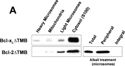 Tailless Bcl-xL and Bcl-2 mutants are cytoplasmic and partially attached to light microsomes. (A) Anti–Bcl-2 and anti–Bcl-x Western blots of subcellular fractions from HEK293 cells transiently transfected with Bcl-2 or Bcl-xL mutants lacking the last 21 amino acids (TMB domain) (Bcl-2ΔTMB and Bcl-xLΔTMB). In addition, a sodium carbonate (alkali) extraction of microsomes (as described in legend to Fig. 1 C) is shown for Bcl-2ΔTMB in the right panel. (B) Autoradiography of the IVTT products of Bcl-2ΔTMB, Bcl-xLΔTMB, and FLAG–Bcl-xsΔTMB, bound to microsomes (pellet) or remaining in the supernatant after spinning off the microsomes. (C) Anti–Bcl-2 and anti–Bcl-x immunofluorescence analysis of HeLa cells transiently overexpressing the three mutants.
