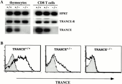 Generation of TRANCE−/− mice: a gene dosage effect on TRANCE expression. (A) Reverse transcription PCR analysis of thymocytes or activated CD8+ T cells from WT, TRANCE+/−, and TRANCE−/− mice. TRANCE-R mRNA expression was also examined and HPRT served as an internal control. (B) Flow cytometric analysis of activated CD8+ T cells from WT, TRANCE+/−, and TRANCE−/− mice. Cells were stained with hIgG1 (gray lines) or TRANCE-R-IgG1 (thick lines) followed by PE-coupled goat anti–human IgG1.
