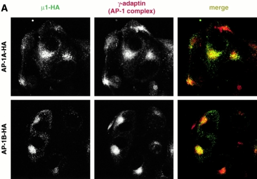 AP-1–HA localizes to a perinuclear region. LLC-PK1::μ1A-HA transfectants (A–C, top) and LLC-PK1 cells transfected with μ1B-HA (bottom) were fixed and incubated with anti-HA antibodies (A, left) in combination with (A) anti–γ-adaptin antibodies (middle), (B) anti-GM130 antibodies, or (C) Texas red–labeled Tfn. These incubations were followed by an incubation with Alexa 488–labeled (anti-HA staining) and Alexa 594–labeled (anti–γ-adaptin and anti-GM130 staining) secondary antibodies. Specimens were analyzed by confocal microscopy and representative images are shown.