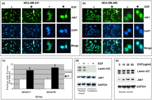 Epidermal growth factor (EGF) stimulates increased nuclear localization of Jab1 in MDA-MB-231 and MDA-MB-468 breast cancer cell lines. (a, b) Immunofluorescence assays. (c) Quantitative image analysis of nuclear Jab1 (bars represent mean ± standard deviation). Statistical analysis was by t test (*P < 0.01). (d) Increased expression of Jab1 in the nucleus relative to cytoplasm, detected by Western blot in MDA-MB-231 nuclear extracts. Lamin A/C was included as a positive control for the nuclear extract, and GAPDH was included as a loading control. (e) Increased Jab1 nuclear expression positively correlated to EGF dose. DAPI, 4'-6-diamidino-2-phenylindole; GAPDH, glyceraldehyde 3-phosphate dehydrogenase; Jab1, c-Jun activation domain-binding protein-1.