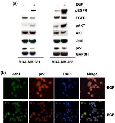 Epidermal growth factor (EGF) influences activity of Jab1 downstream genes. (a) Western blot analysis results show that upregulation of pEGFR is correlated with downregulation of p27 in both MDA-MB-231 and MDA-MB-468 cells following EGF treatment. Treatment with EGF was also correlated to an observed increase in pAKT. GAPDH was included as a loading control. (b) Immunofluorescence analysis confirmed that nuclear translocation of Jab1 was associated with downregulation of its downstream target, p27, following EGF treatment. DAPI, 4'-6-diamidino-2-phenylindole; EGFR, epidermal growth factor receptor; GAPDH, glyceraldehyde 3-phosphate dehydrogenase; Jab1, c-Jun activation domain-binding protein-1; pEGFR, phosphorylated epidermal growth factor receptor.