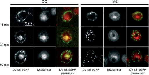 DV3 sE-eGFP protein is excluded from acidic compartments in MDdMφ.Confocal microscopic analysis of the localization of DV3 sE-eGFP protein at different time-points in cells loaded with the fluorescent LysoSensor dye (optimal fluorescence at pH 5.1). For the overlay images, blue color was converted to red to allow better co-visualization with eGFP. After 5 min incubation, sE-eGFP was endocytosed into vesicles close to the plasma membrane in both cells types. After 30 min and 60 min, sE-eGFP-containing vesicles acidified in the perinuclear area in MDDC, whereas in MDdMφ, sE-eGFP remained in non-acidified, large vesicles. The data is representative of 3 experiments.