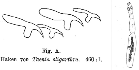 First drawing of the rostellar hooklets (left) and the entire strobilar stage of Echinococcus oligarthrus (right). The specimen was listed under no. 396 in the Wiener Hofmuseum. From (15).