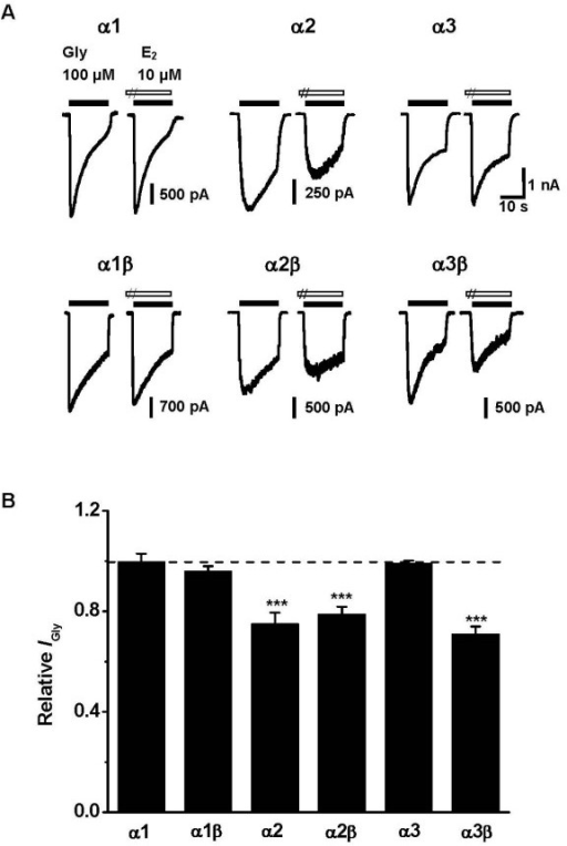 Inhibitory effect of E2 on recombinant GlyRs. (A) Sample traces demonstrating the effects of 10 μM E2 on various homomeric and heteromeric GlyRs. (B) Summary of results from all experiments similar to those shown in A. E2 selectively inhibited the peak amplitude of IGly mediated by α2-containing GlyRs and α3β heteromeric GlyR. Each column represents the average value of 6–11 neurons. ***P < 0.001, Paired Student's t-test, compared with the control without E2 treatment (dashed line).