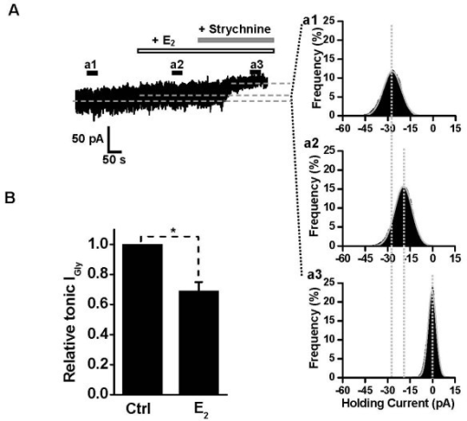 Inhibitory effect of E2 on GlyR-mediated tonic current in HIP slices. (A) Left, Whole-cell voltage-clamp recording showing the current in the presence of 0.3 μM TTX, 10 μM bicuculline, 3 μM CNQX, 10 μM APV, 20 μM glycine and 0.5 mM sarcosine. Application of strychnine (2 μM) decreased the membrane current noise and revealed the tonically activated GlyR current. In the presence of E2 (10 μM), the amplitude of GlyR-mediated tonic current was significantly reduced. Right (a1–a3), Gaussian fit to all-point histograms of 30 s traces at the time point a1, a2 and a3 (A, inset). The differences among the Gaussian means are marked by the dotted lines. (B) The normalized GlyR-mediated tonic current in the absence or presence of E2 (n = 8). *P < 0.05, Paired Student's t-test, compared with the control without E2 treatment.