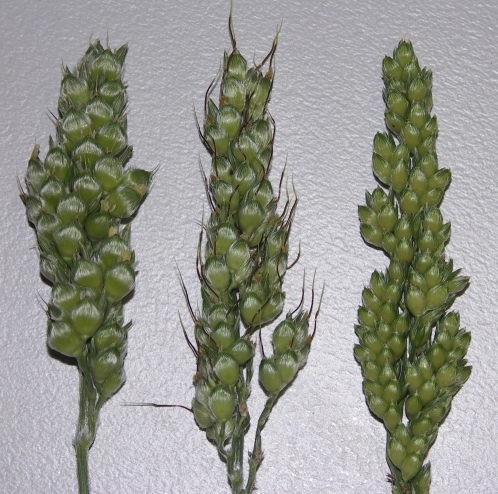 Branches of panicles collected at anthesis showing genotypic difference in spikelet size. From left to right: KS115, ATx642/KS115, and ATx642/RQL36.