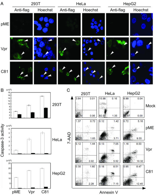 Vpr and C81 induce apoptosis in tumor cells. (A) HeLa, HepG2, and 293 T cells were transfected with pME18Neo encoding Flag-tagged wild-type Vpr or C81, or the control pME18Neo-Flag. At 48 h post-transfection, cells were fixed and stained with anti-Flag, followed by Alexa-488-conjugated anti-mouse IgG. Finally, cells were stained with Hoechst 33258 to monitor the nuclear morphology. Apoptotic bodies (arrowheads) were identified using confocal laser scanning microscopy. (B) HeLa, HepG2, and 293 T cells were transfected with the pME18Neo plasmid encoding Flag-tagged wild-type Vpr or C81, or the control pME18Neo-Flag, together with pSV-β-galactosidase. Cells were treated with (filled columns) or without (open columns) inhibitors of caspase-3. At 30 h (293 T), 36 h (HeLa), or 48 h (HepG2) post-transfection, caspase-3 activity was measured and normalized to the β-galactosidase activity. Each column and error bar represents the mean ± SD of measurements from three samples. (C) HeLa, HepG2, and 293 T cells were transfected with pME18Neo encoding Flag-tagged wild-type Vpr or C81, or the control pME18Neo-Flag with or without the GFP expression vector pEGFP-N1. GFP was used as a reporter to discriminate between transfected and untransfected cells. At 47 h (293 T), 38 h (HeLa), or 58 h (HepG2) post-transfection, cells were stained with PE-Annexin V and 7-AAD to identify apoptotic cells, or anti-mouse IgG2b-PE (Nippon BD Company Ltd) and 7-AAD as a negative control. The percentages of Annexin V-positive and 7-AAD negative cells relative to GFP-positive cells indicate the level of Vpr or C81 associated apoptosis.