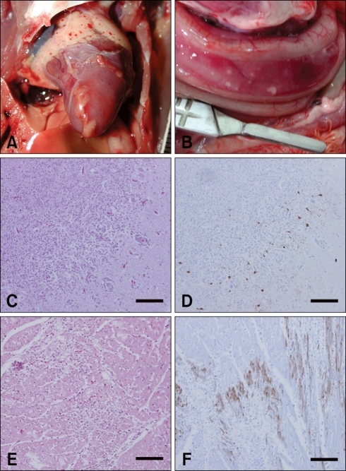 Gross and microscopic photographs in visceral organs from chickens (A) and ducks (B-F) after intranasal inoculation with A/chicken/Korea/IS/06 virus. The chickens exhibited petechial hemorrhage in the cardiac fat pad (A) while the pancreas of the ducks had mutifocal rounded grayish necrotic foci (B). The histopathological findings in ducks included inflammation of the Purkinje cell layer in the cerebellum and perivascular cuffing (C) and non-supprative necrotizing myocarditis (E). Immunohistochemical analysis for the presence of the virus revealed positive staining in the brain (D) and cardiac muscle (F) of the ducks. C, D, E and F; H&E stain. Scale bars = 100 µm.